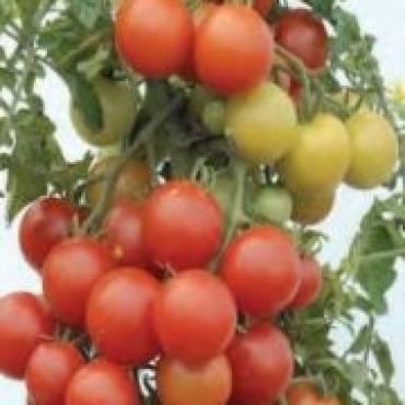 Ile pomidora jest w pomidorze?