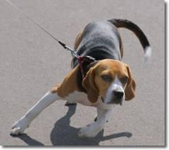 pies-ciągnący-smycz
