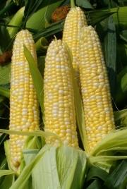 Tradycyjne wróżenie z kukurydzy z okazji sabatu Lammas