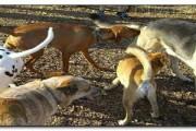 pies wącha zadek drugiego psa