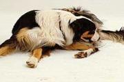 dlaczego pies liże