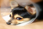 sterylizacja psa
