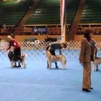 Jak poradzić sobie na wystawie psów?
